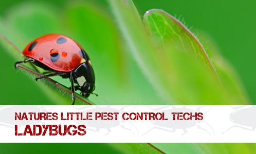 BUG_ladybug
