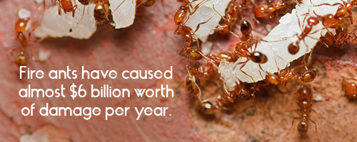 Fire ants have caused almost $6 billion worth of damage per year.
