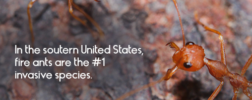 In the southern United States, fire ants are the #1 invasive species.