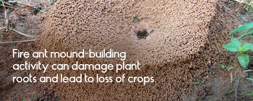 Fire ant mound-building activity can damage plant roots and lead to loss of crops.