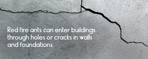 Red fire ants can enter buildings through holes or cracks in walls and foundations.