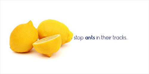 BUG_lemons_ants_blog