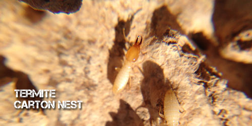 BUGMASTER_termite_cartonnest2
