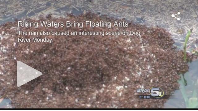 WKRG-Floating-ants-bugmaster-blog